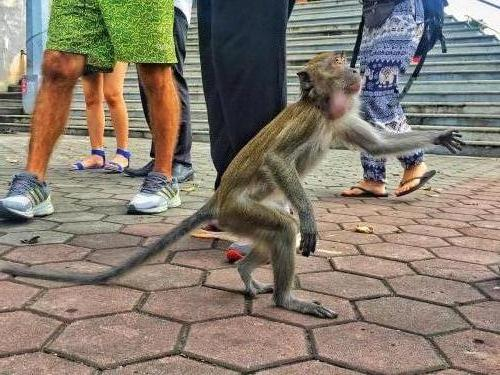 Affen bei den Batu Caves